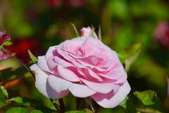 Pink rose,close up Stock Photos