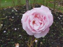 Pink Rose. Close up of a pink rose taken at a rose park Royalty Free Stock Images