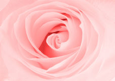 Pink rose close up view Stock Photos