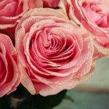 Pink rose close-up. Royalty Free Stock Image