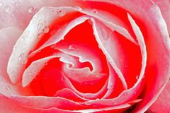 Pink rose with water drops. Pink rose close up with water drops Royalty Free Stock Photo
