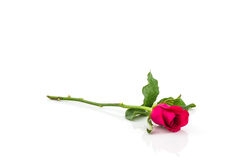 Pink rose. Stock Photos