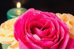 Pink rose close-up with yellow roses on the edges with candles in the background and a place for the inscription. The dew on the royalty free stock photos
