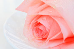 Pink rose closeup Stock Images