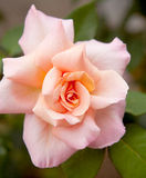Pink rose in closeup Royalty Free Stock Images