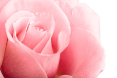 Pink rose closeup Royalty Free Stock Image