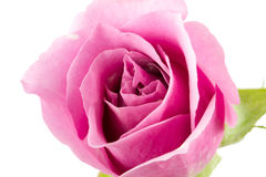 Pink rose closeup Stock Photos