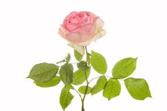 Pink rose closeup isolated Stock Photography
