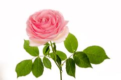 Pink rose closeup isolated Royalty Free Stock Photography