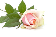 Pink rose in closeup over white background Stock Photo