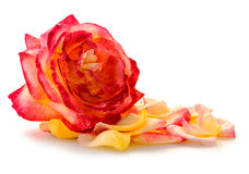 Pink rose closeup and petals isolated on white background. Rose isolated on white background.Pink Rose closeup with petals Stock Photos