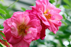 A pink Rose Stock Images