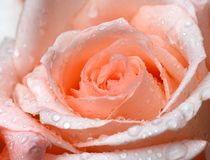 Pink rose closeup with water drops Stock Photo