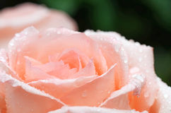 Pink rose closeup with water drops Stock Images