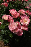Pink rose cluster Royalty Free Stock Photo
