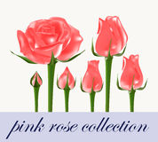 Pink rose collection Royalty Free Stock Images