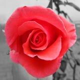 Pink Rose color splash Stock Image