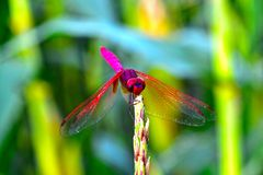 Pink and rose colour dragonfly royalty free stock image