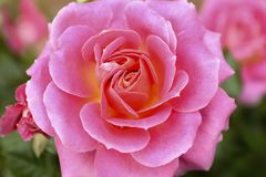 Pink Rose. Conveying thoughtfulness, passion, sentiment, and packing contemporary color punch Stock Images