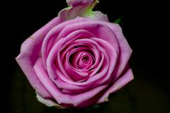 Pink Rose. Conveying thoughtfulness, passion, sentiment, and packing contemporary colour punch, pink roses are the perfect type of rose for multipurpose Stock Image