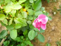 Pink rose on tree stock images