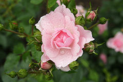 Pink Rose Covered in Dew Royalty Free Stock Photo