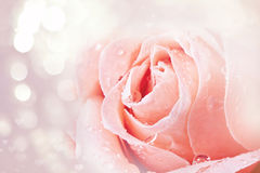 Pink rose covered with dew Royalty Free Stock Photos