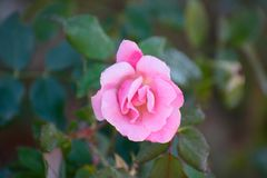 A pink rose covered in dew on a fall morning stock photography