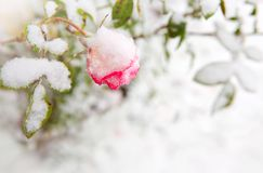 Pink rose in the snow. Pink rose in the snowfall. royalty free stock photo