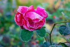 Pink rose covered with hoarfrost, late autumn or early winter_. Pink rose covered with hoarfrost, late autumn or early winter stock photos