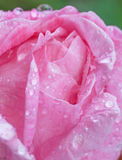 Pink rose covered with rain drops Stock Photos