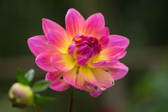 Pink rose dahlia flower, beatyful bouquet or decoration from the Royalty Free Stock Photography