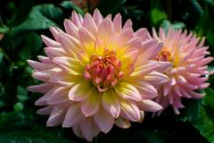 Pink rose dahlia flower, beatyful bouquet or decoration from the Stock Photography
