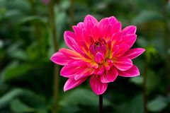 Pink rose dahlia flower, beatyful bouquet or decoration from the Royalty Free Stock Photo