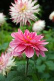 Pink rose dahlia flower, Beautiful bouquet or decoration from th Royalty Free Stock Images