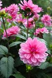 Pink rose dahlia flower, Beautiful bouquet or decoration from th Royalty Free Stock Photo
