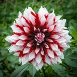 Pink rose dahlia flower, Beautiful bouquet or decoration from th Stock Image