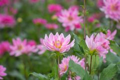 Pink rose dahlia flower, beatyful bouquet or decoration from the Royalty Free Stock Photos