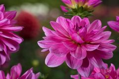 Pink rose dahlia flower, beatyful bouquet or decoration from the Royalty Free Stock Images