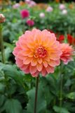 Pink rose dahlia flower, Beautiful bouquet or decoration from th Stock Images