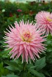 Pink rose dahlia flower, Beautiful bouquet or decoration from th Royalty Free Stock Photos
