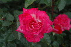Pink rose. Dark pink rose with dark green leaves Stock Photos