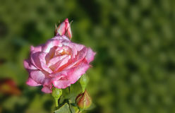 Pink rose at dawn in the dew drops on green background with copy space. Royalty Free Stock Photos