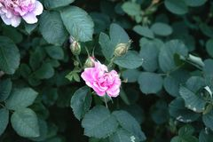 Pink rose day in the garden nature close-up green color flower outdoors summer shadow macro flowers bud Royalty Free Stock Photos