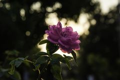 Pink Rose at Daytime Royalty Free Stock Photography