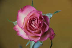 Pink rose. Delicate rose with a delicate aroma Royalty Free Stock Photo