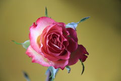 Pink rose. Delicate rose with a delicate aroma Royalty Free Stock Photos