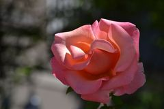 A Pink Rose in Portland, Oregon Stock Image