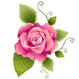 Pink rose design Royalty Free Stock Images