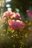Pink rose detail. Pink roses with wrought iron detail Stock Image